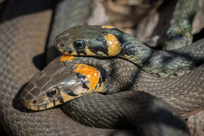 strach z hadů – fotka dvou hadů